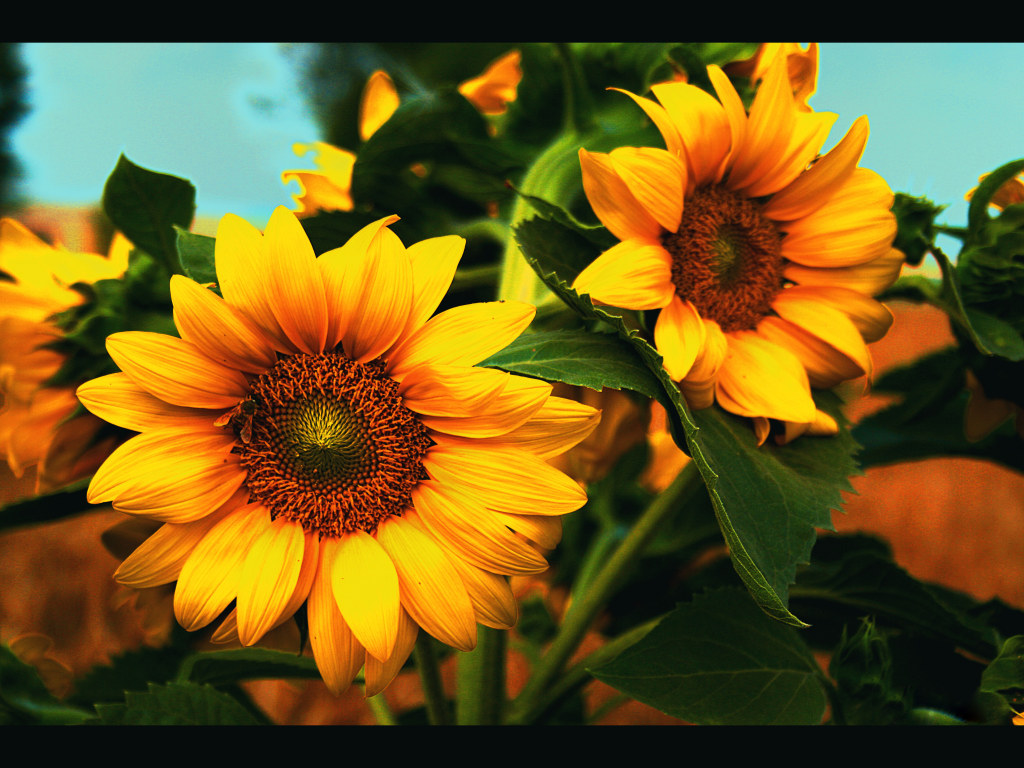 Free Wallpapers: Sunflower Wallpaper