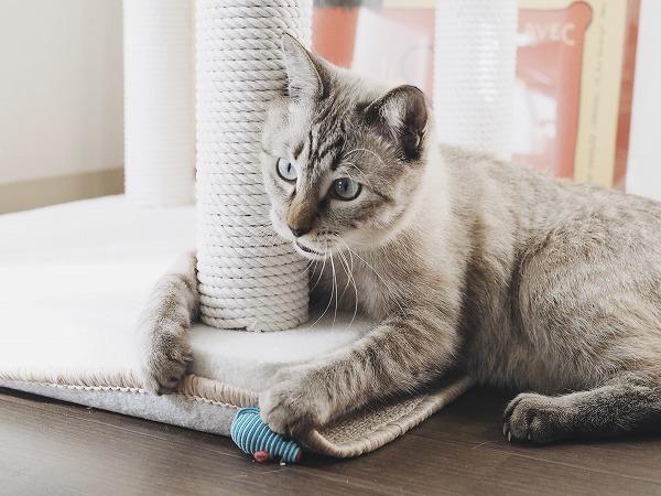 ねずみで遊ぶシャムトラ猫