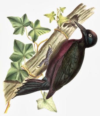 Carpintero de Guadalupe Melanerpes herminieri