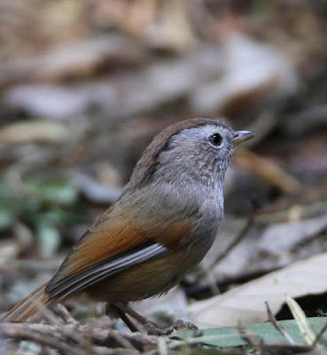 Spectacled Fulvetta