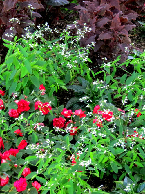 red rose impatiens