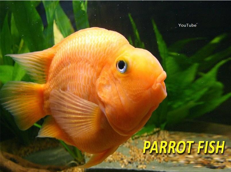 Ikan Red Parrot dan Harganya Sekarang Ini