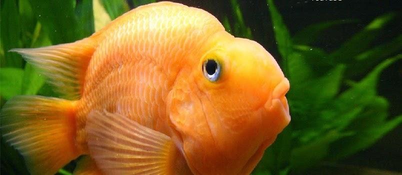 Ikan Red Parrot Cara Merawat dan Harganya Sekarang Ini
