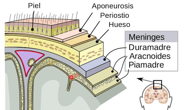 Meninges y biologia