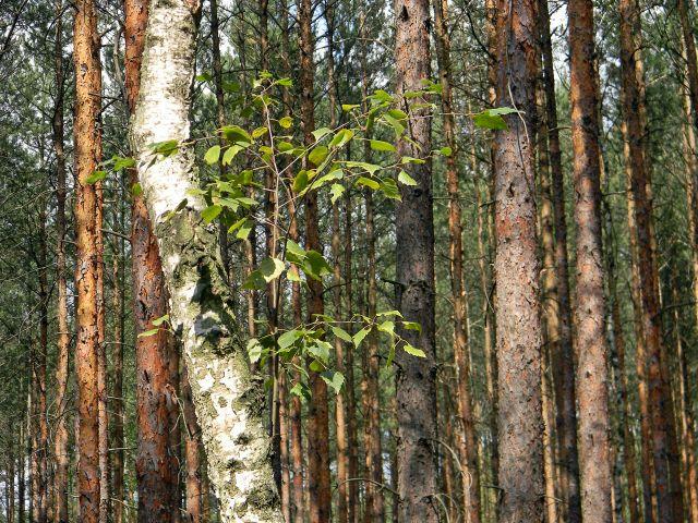 lasy, drzewa, sosna, brzoza