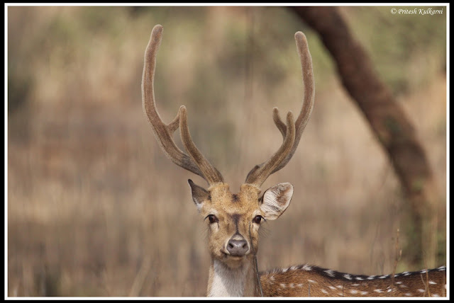 Male Spotted deer