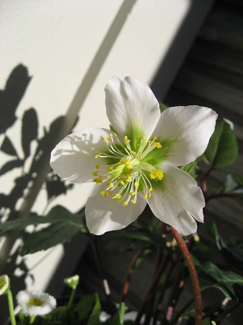 Ideer til hvit vårblomstring i krukker - nærbilde av julerosen