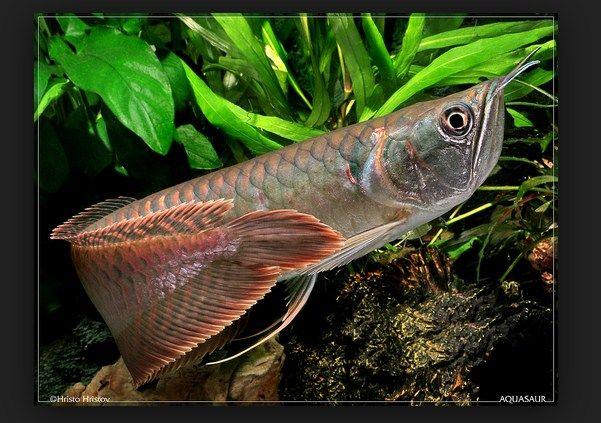 Kisaran Harga Dan Cara Merawatnya, Harga Ikan Arwana Silver anakan, Harga Ikan Arwana Brazil, Harga Anakan Ikan Arwana