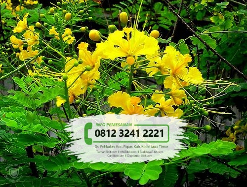 Jual Bibit Bunga Merak Merah Kuning
