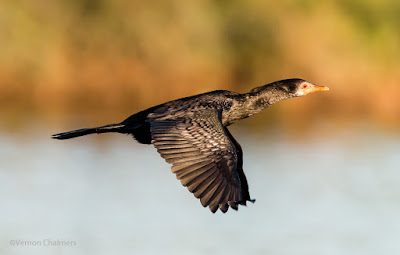 Starting out with Birds in Flight Photography - Reed Cormorant: Canon EOS 70D / EF 400mm f/5.6L USM Lens
