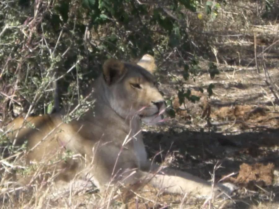 Lion pris de près en Tanzanie
