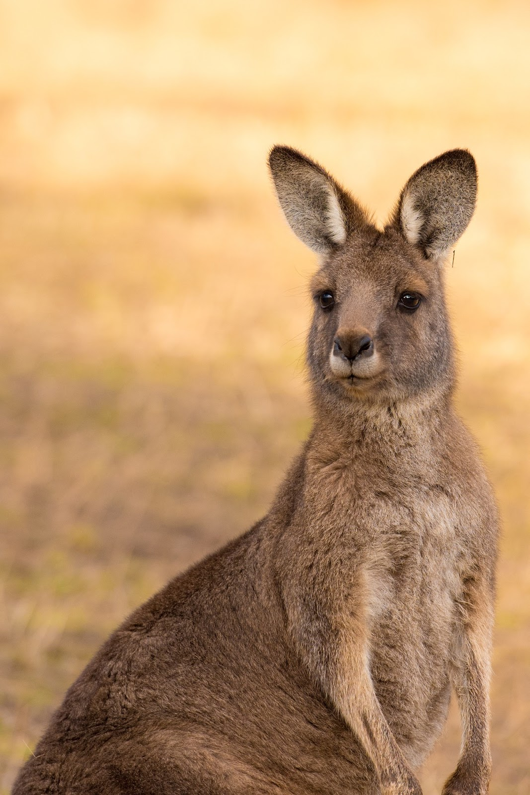 Picture of a kangaroo.