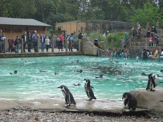 Humboldt Penguins at London Zoo's Penguin Beach.