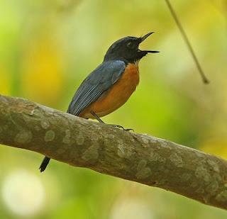 Suara Burung Sikatan Tanahjampea