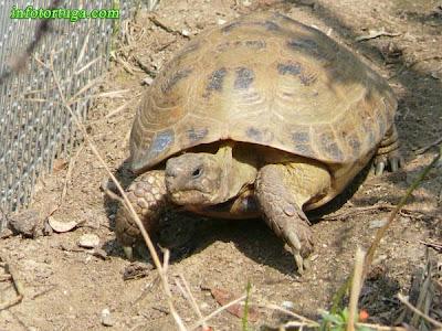 Tortuga rusa (Testudo horsfieldii)