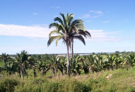 BABAÇU (Orbignia speciosa)