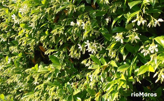 Jazmín chino Trachelospermum jasminoides