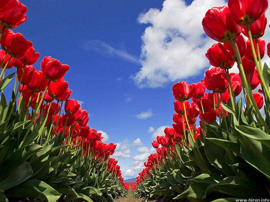 Life Is To Give: I Love Flower: Tulip^^