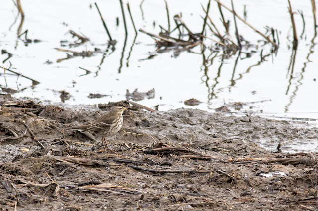 Water Pipit at Rainham Marshes RSPB