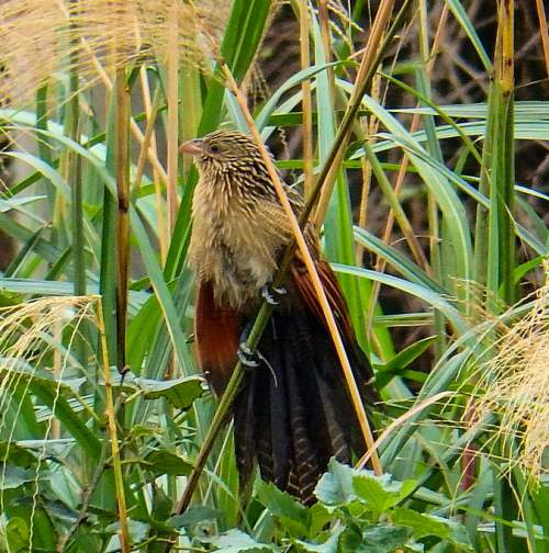 Indian birds - Picture of Lesser coucal - Centropus bengalensis