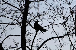 crow in tree