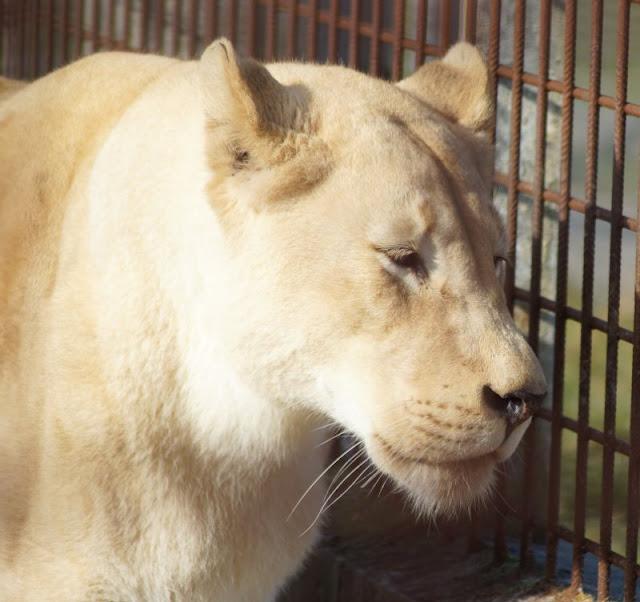 Spaß und Action für die ganze Familie: Das KidsVIP Programm von Westerland.dk Dänemark Urlaub Kinder Ausflüge Attraktionen Blavand Zoo Tierpark weiße Löwen
