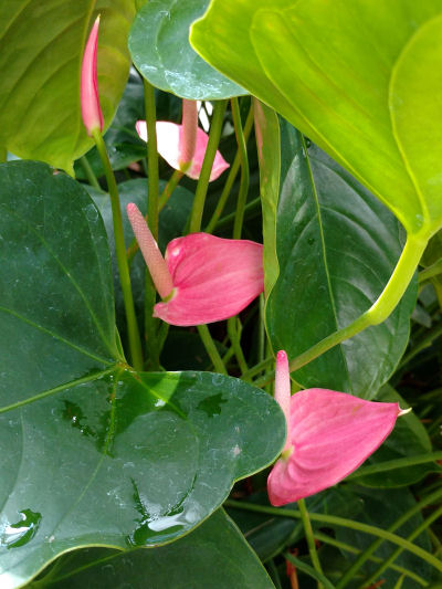 pink peace lily