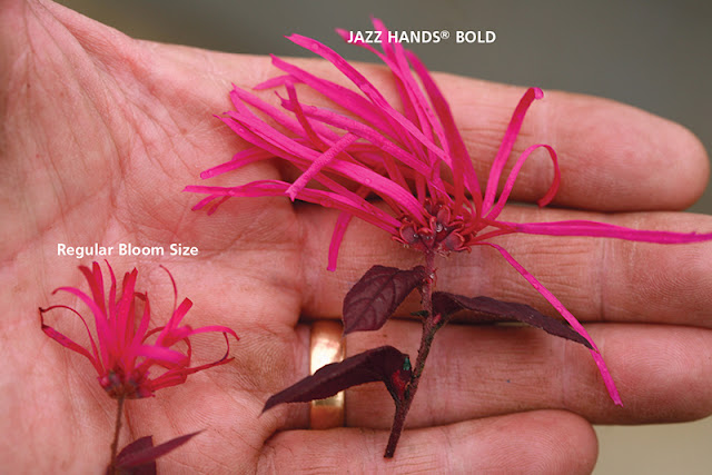 Jazz Hands Bold Loropetalum from Proven Winners ColorChoice