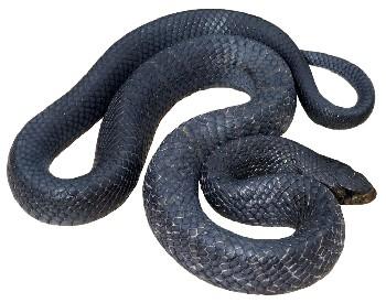 Cobra-Papa-Pinto (Drymarchon corais)
