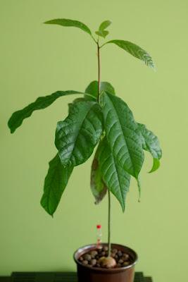 awokado uprawa hydroponiczna