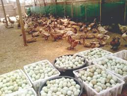ternak bebek petelur tanpa air, sistem kandang modern