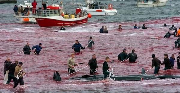 Masacre de ballenas y delfines en Dinamarca