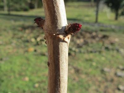 Gemme Sambucus nigra