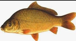 Ciri Ciri Ikan Mas