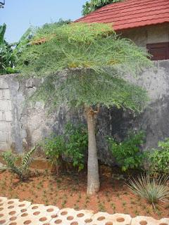 pohon moringa kelor afrika