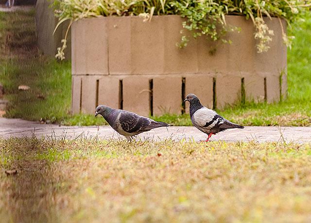 Dos palomas en primer plano.