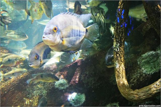 Exhibición del Río Amazonas en el Acuario de Boston
