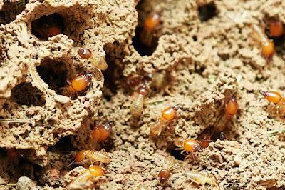 أفضل طريقة لمكافحة النمل الأبيض