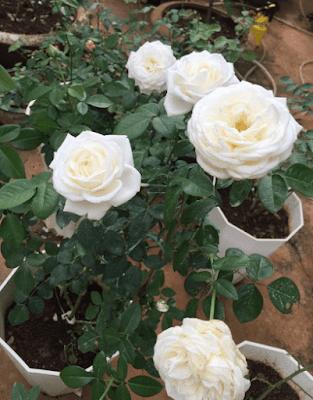 Hoa hồng 6