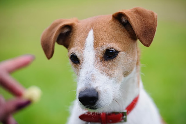 A Parson JRT gazes at a food reward it is about to receive
