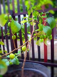 cara-menanam-apel-india.jpg