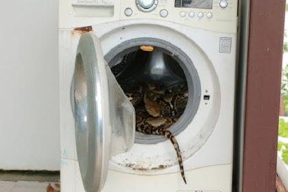 Mengerikan, Buka Mesin Cuci Pria Ini Diserang Piton 4 Meter