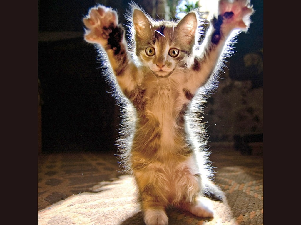 funny animals wallpapers cats - photo #6