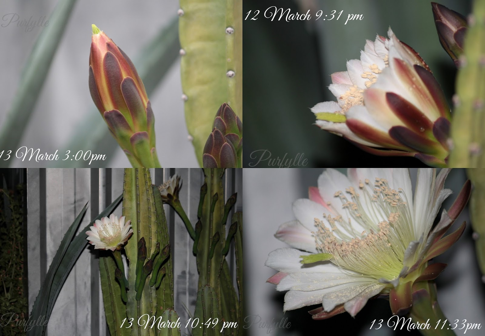 the short lifecycle of the cacti flower
