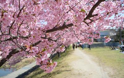 cerejeiras aoizakura