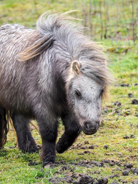 mini Shetland pony Eclair
