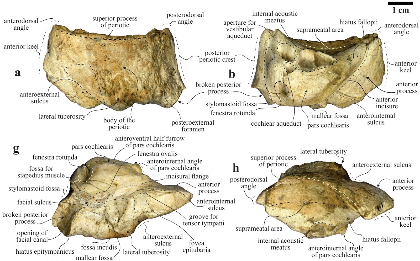 The Coastal Paleontologist Atlantic Edition January 2017 Harbor Seal Skeleton Diagram Carnivora Phocidae Earbones Possess Some Features Similar To Gray Whales Including A Fenestra Rotunda That Is Teardrop Shaped And Open Dorsally More Complete Material
