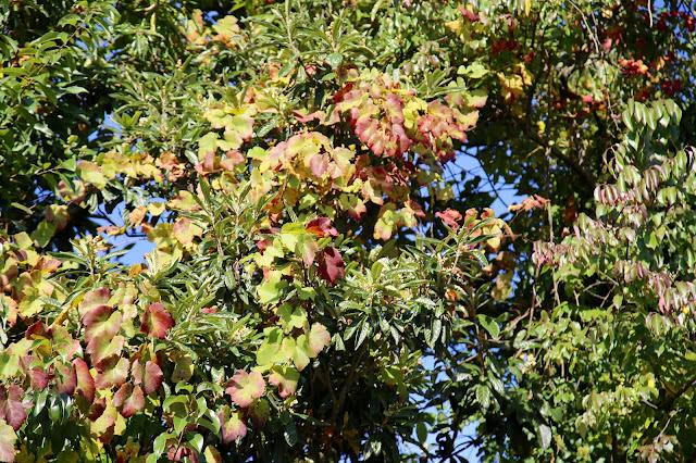 vine climbing a tree, vinho verde , portugal