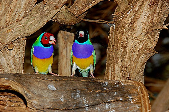 The Gouldian finch's habitat and conservation ~ Birds ...