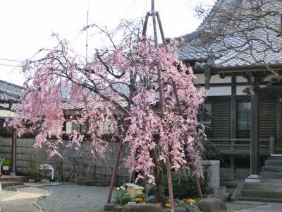 本興寺枝垂れ桜